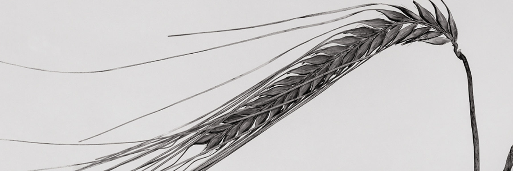 Getreide-Studien